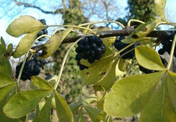 Eleuterococco: il ginseng siberiano
