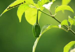 Peperoncino pianta