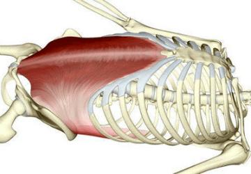 Muscolo Trasverso dell'Addome