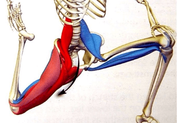 Muscolo ileopsoas: esercizi, stretching, anatomia e postura